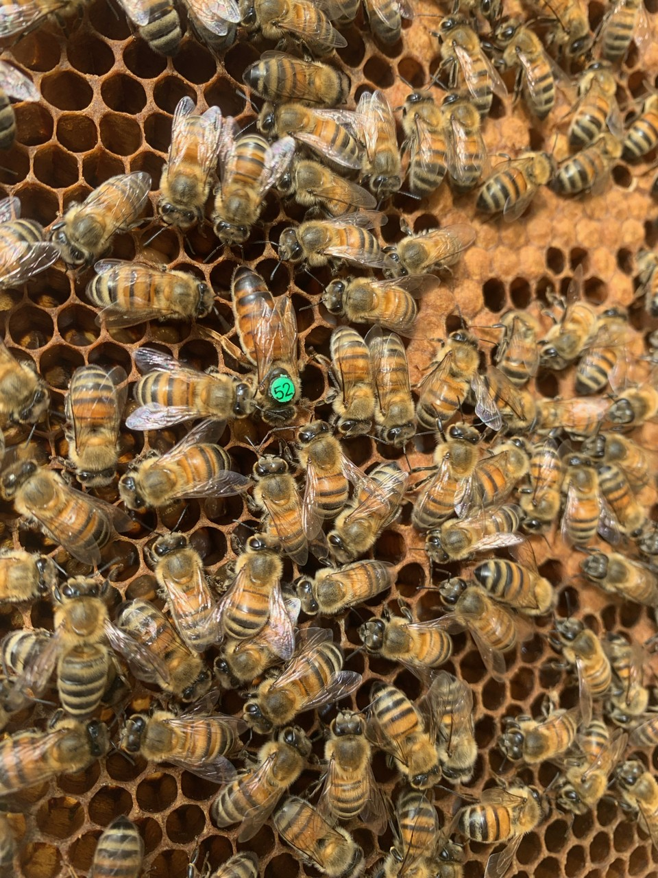 Elevage d'essaims d'abeilles, Frère Adam